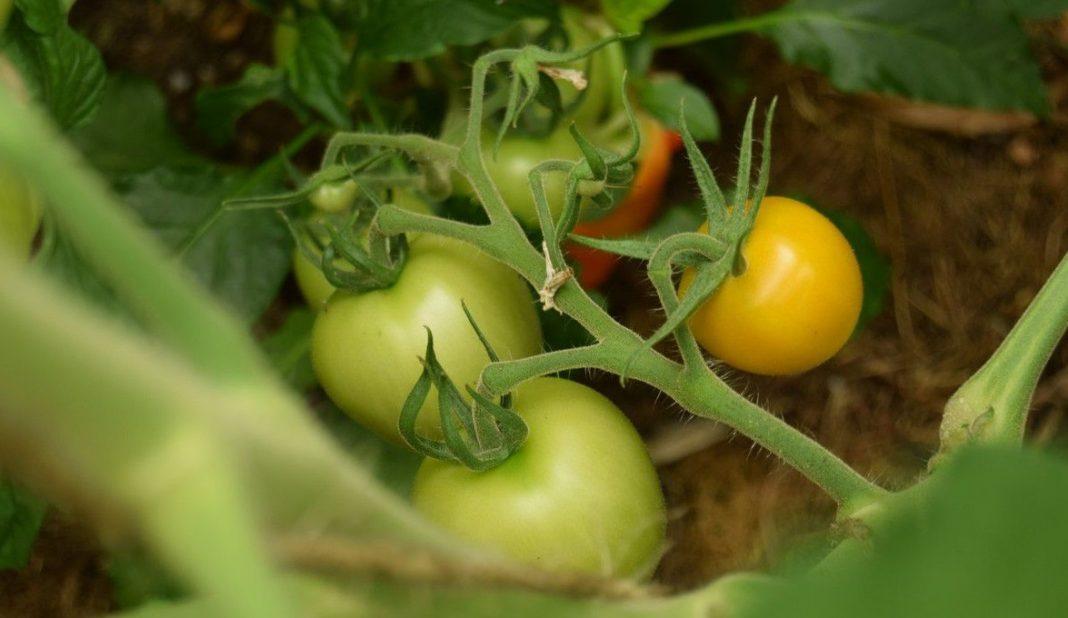 Tomates pas mûres